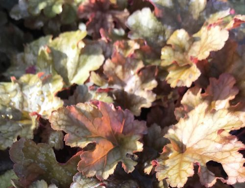 Heavenly heuchera foliage